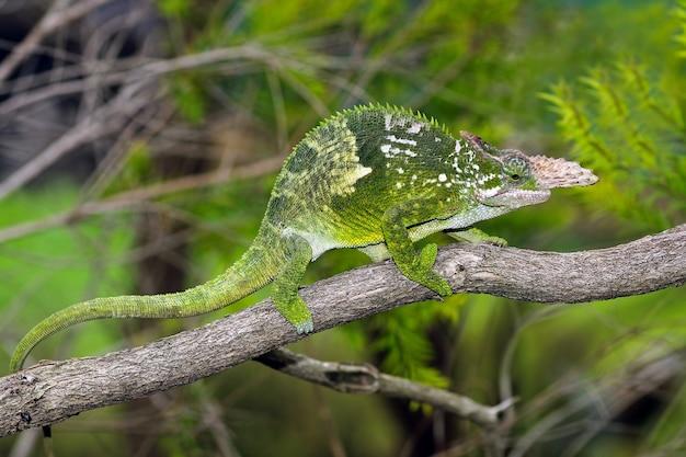 Kameleon fischer zbliżenie na drzewie zbliżenie zwierząt