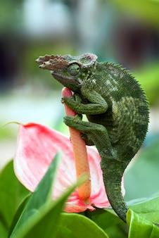 Kameleon fischera przysiadł na gałęzi