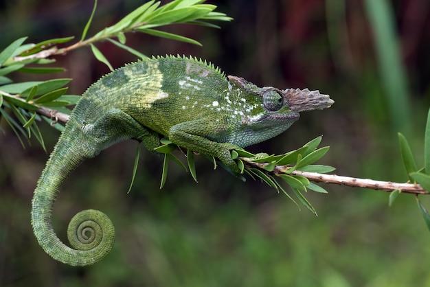 Kameleon fischera wiszący na drzewie