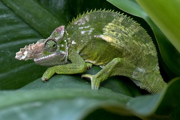 Kameleon fischera z bliska