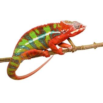 Kameleon Furcifer Pardalis - Ambilobein Przód Na Bielu Odizolowywającym Premium Zdjęcia