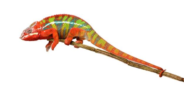 Kameleon furcifer pardalis - ambilobein przód na bielu odizolowywającym