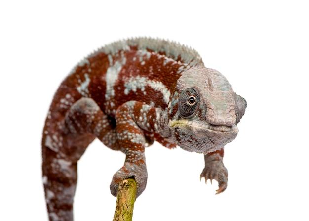 Kameleon Furcifer Pardalis, Masoala Na Bielu Odizolowywającym Premium Zdjęcia