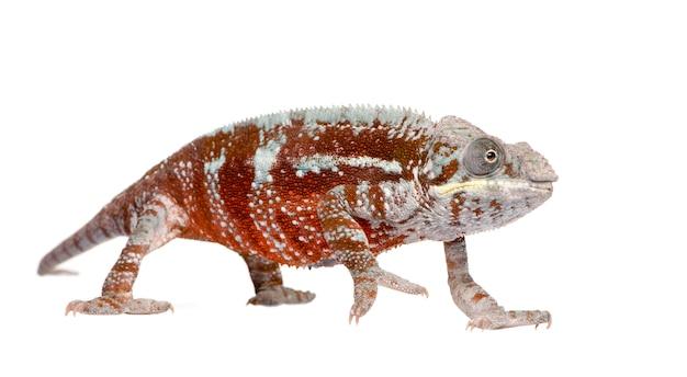 Kameleon furcifer pardalis, masoala z przodu na białym na białym tle