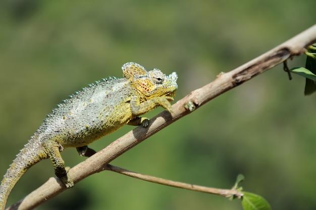 Kameleon idzie po gałęzi drzewa