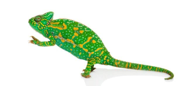 Kameleon jemeński na tylnych łapach - chamaeleo calyptratus - na białym tle