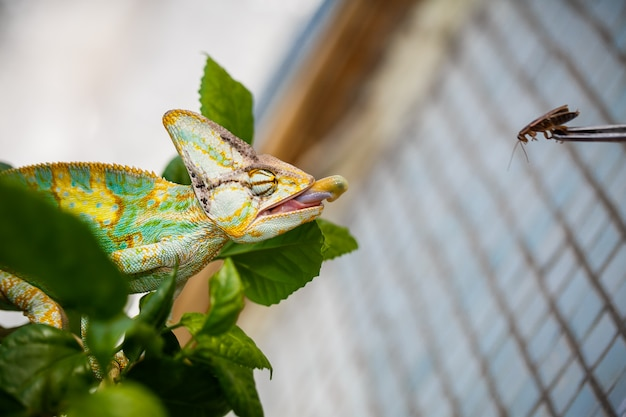 Kameleon jemeński siedzi na gałęzi i poluje na karalucha