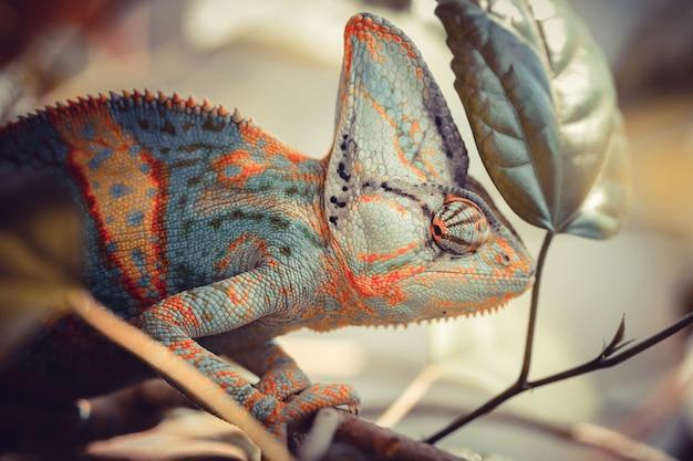 Kameleon jemenu