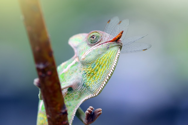 Kameleon, kameleon zawoalowany, kameleon phanter,