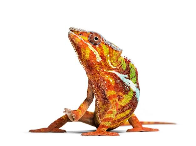 Kameleon lamparci, furcifer pardalis patrząc na kamery na białym