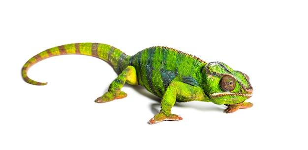 Kameleon lamparci, furcifer pardalis, z przodu biały