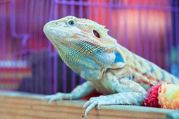 Kameleon lub iguana.