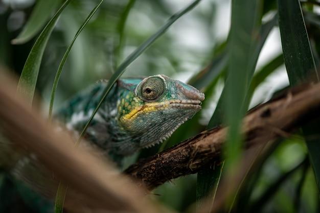 Kameleon na gałęzi wśród liści palmowych