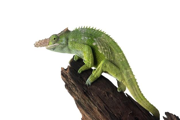 Kameleon na gałęzi z białym tłem