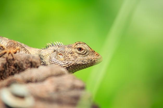 Kameleon na suchym drewnie