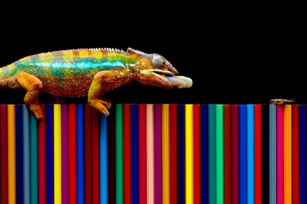 Kameleon pantera próbuje kamuflażować na kolorowych kredkach