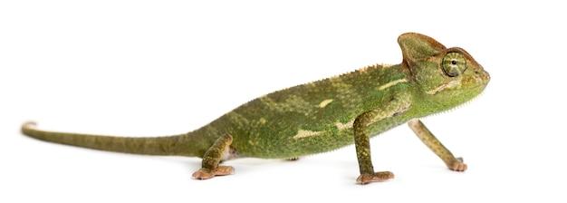 Kameleon przed białym