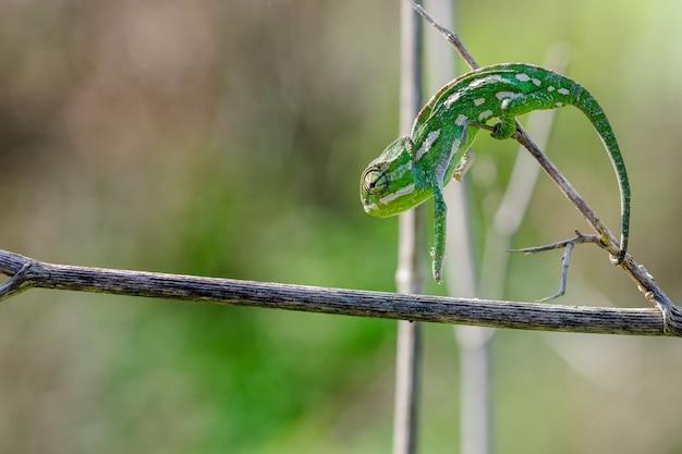 Kameleon śródziemnomorski, chamaeleo chamaeleon, rozciąga się i tworzy łuk, poruszając się po kopru włoskim