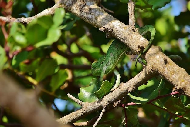 Kameleon śródziemnomorski na gałęzi drzewa chleba świętojańskiego
