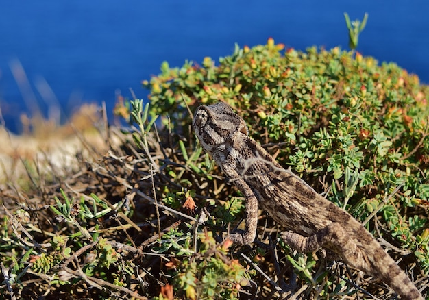 Kameleon śródziemnomorski wśród roślinności na klifie