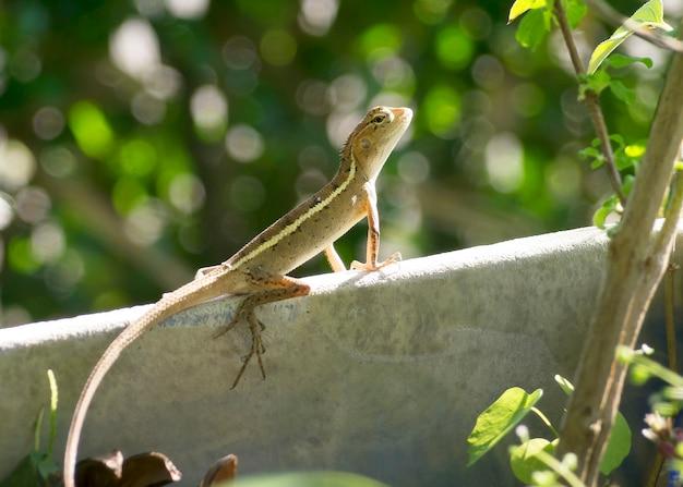 Kameleon w ogrodzie