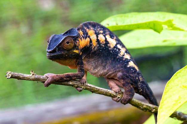 Kameleon w zbliżeniu w parku narodowym na madagaskarze
