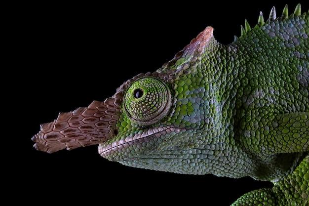 Kameleon z czarnym tłem