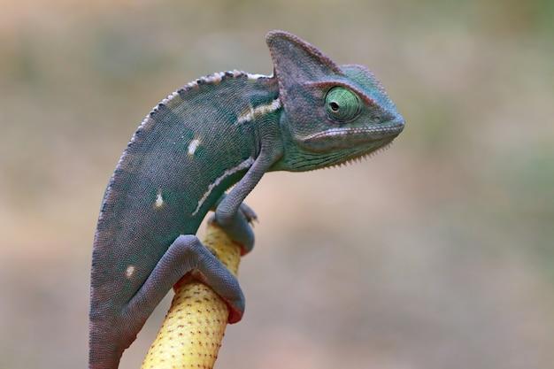 Kameleon zasłonięty radiem do łapania ważki z bliska