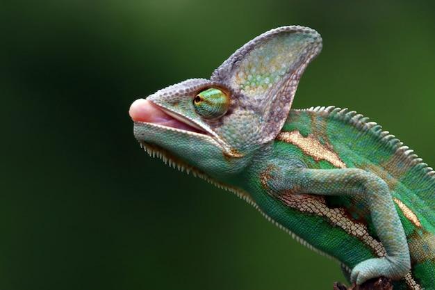Kameleon zasłonięty radiem do łapania ważki