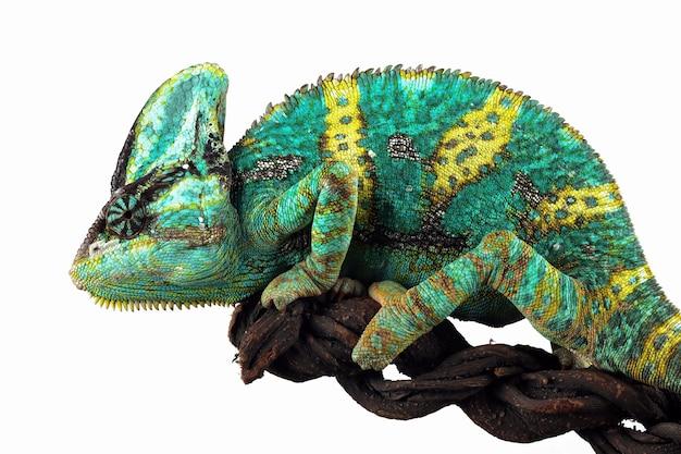Kameleon zawoalowany gotowy do złapania ważki