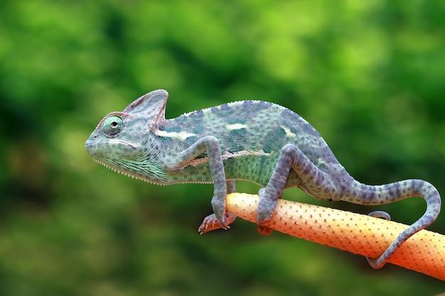 Kameleon zawoalowany łapiący owada
