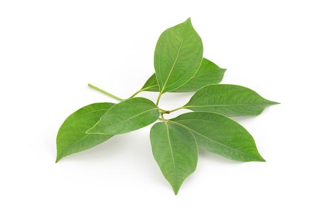 Kamfora zielone liście na białym tle biały ze ścieżką przycinającą.