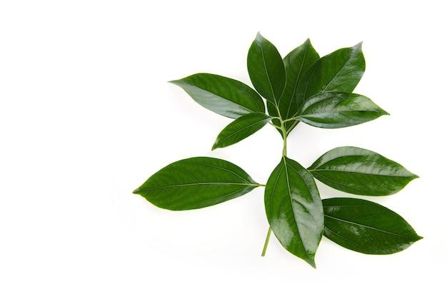 Kamfora zielone liście na białym tle na białej powierzchni. widok z góry.
