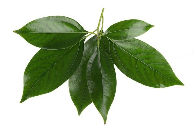 Kamfora zielone liście na białym tle