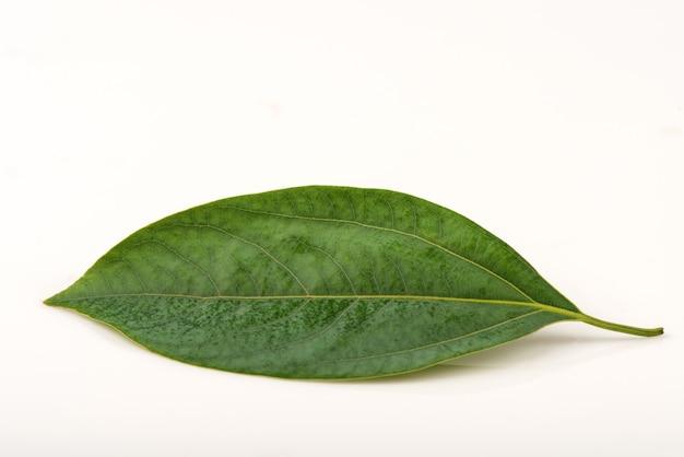 Kamfora zielony liść na białym tle.