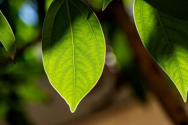 Kamfora zielony liść na naturze.