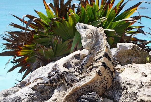 Kamień iguana
