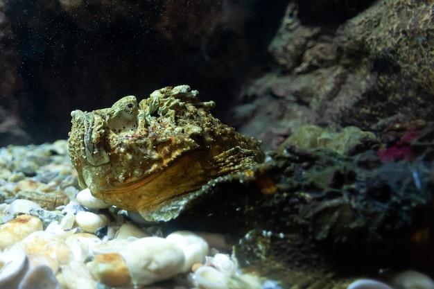 Kamienna ryba w głębokim morzu