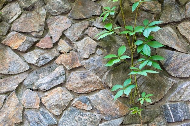 Kamienna ściana w ogrodzie opleciona zieloną rośliną.