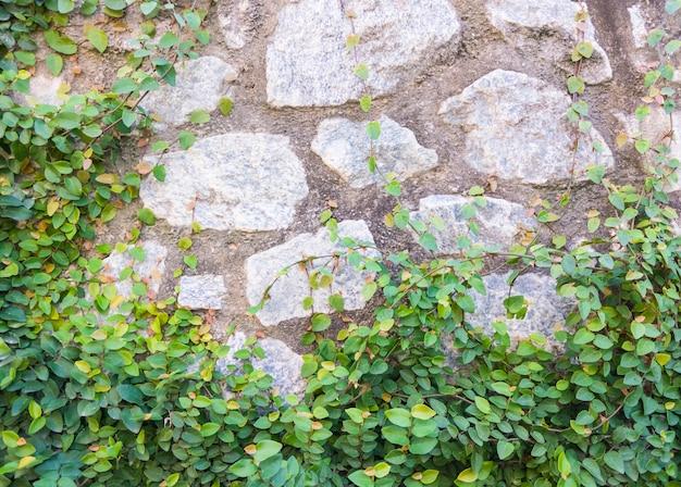 Kamienna ściana z świeżym bluszczem.
