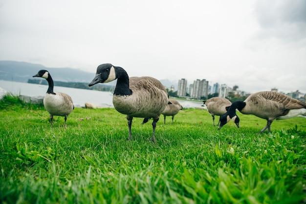 Kanada gęsi jedzące z trawy w concord community park w false creek w vancouver, kolumbia brytyjska.