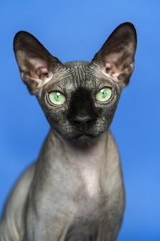 Kanadyjski kot sfinks zbliżenie portret inteligentnego kota na niebieskim tle widok z przodu patrząc aparat