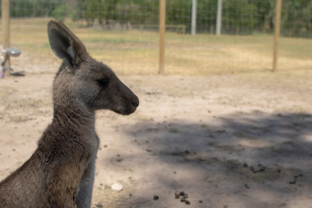 Kangur na farmie