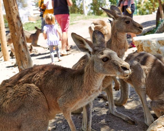 Kangur siedzący na ziemi w ogrodach zoologicznych na północy izraela
