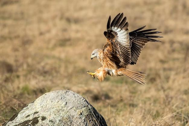 Kania ruda lądująca na kamieniu