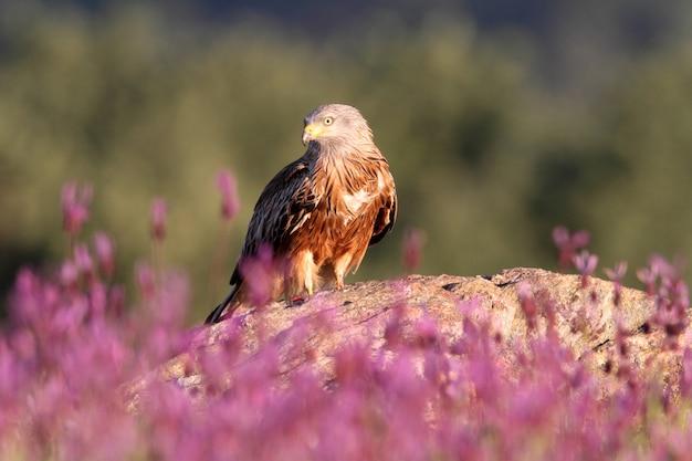 Kania ruda wśród fioletowych kwiatów wczesną wiosną z pierwszym światłem dnia