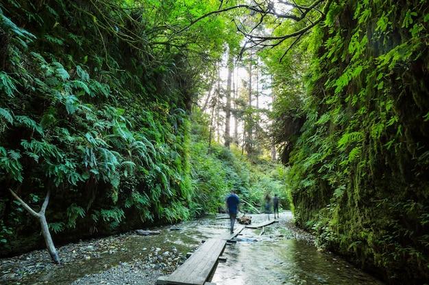 Kanion paproci w parku narodowym redwoods, usa, kalifornia