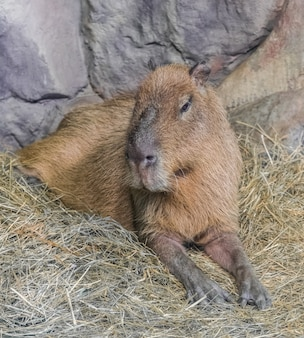 Kapibara, (hydrochoerus hydrochaeris)