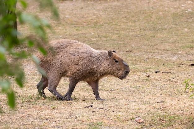 Kapibara na polanie na wolności