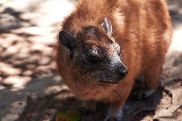 Kapibara na safari w kenii i tanzanii w afryce